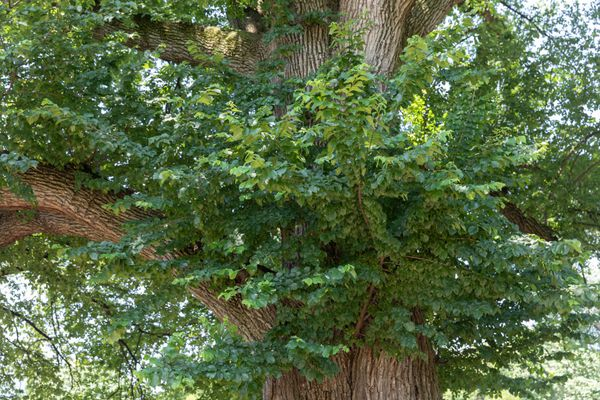 English elm tree with thick tree trunk and branches with green leaves