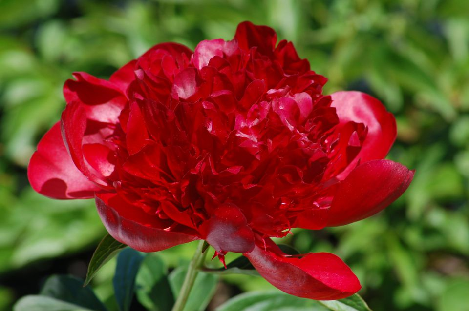 Red Charm peony in bloom.