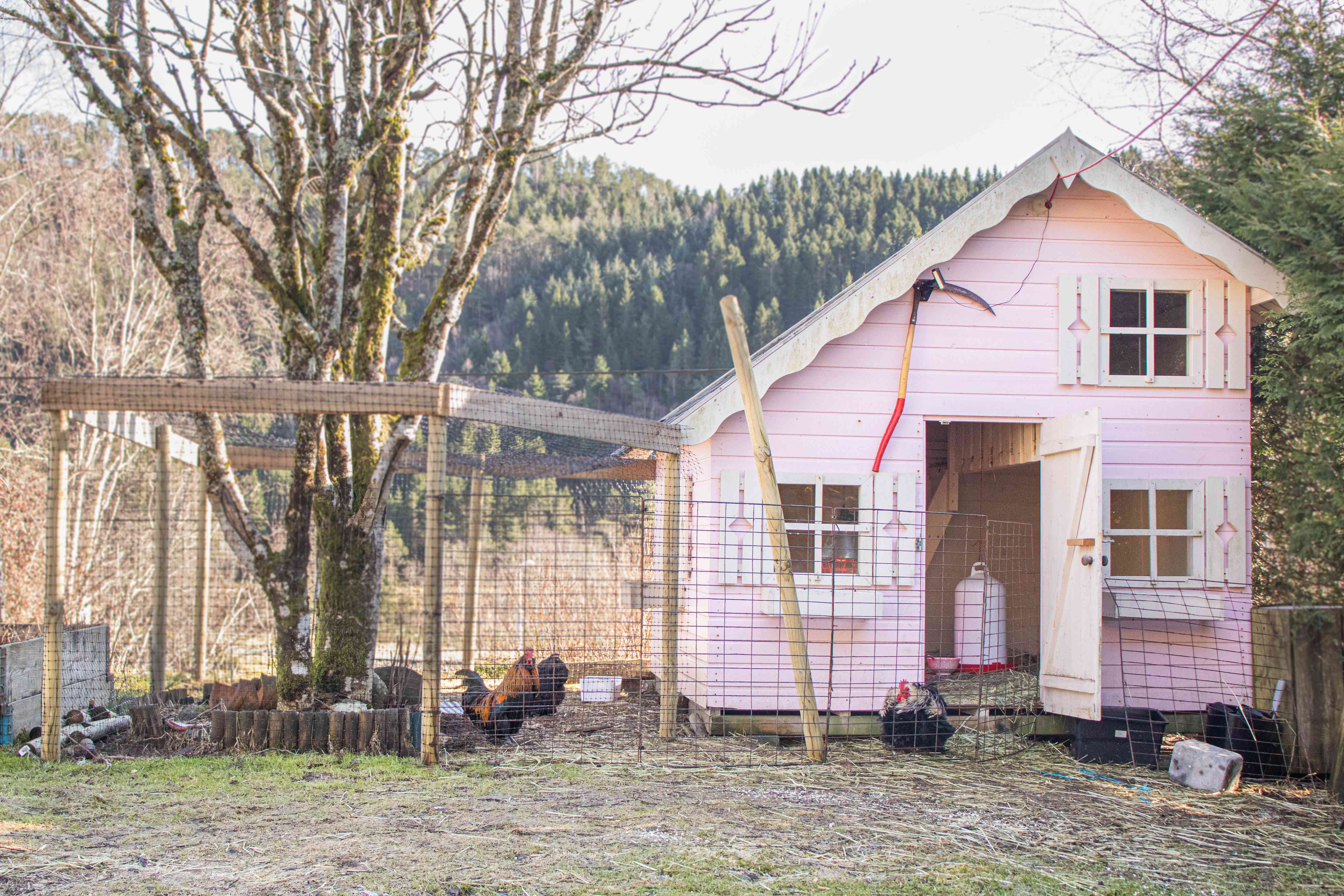 Pink chicken coop with chicken wired fence outside with chickens