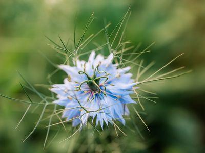 love in a mist flower