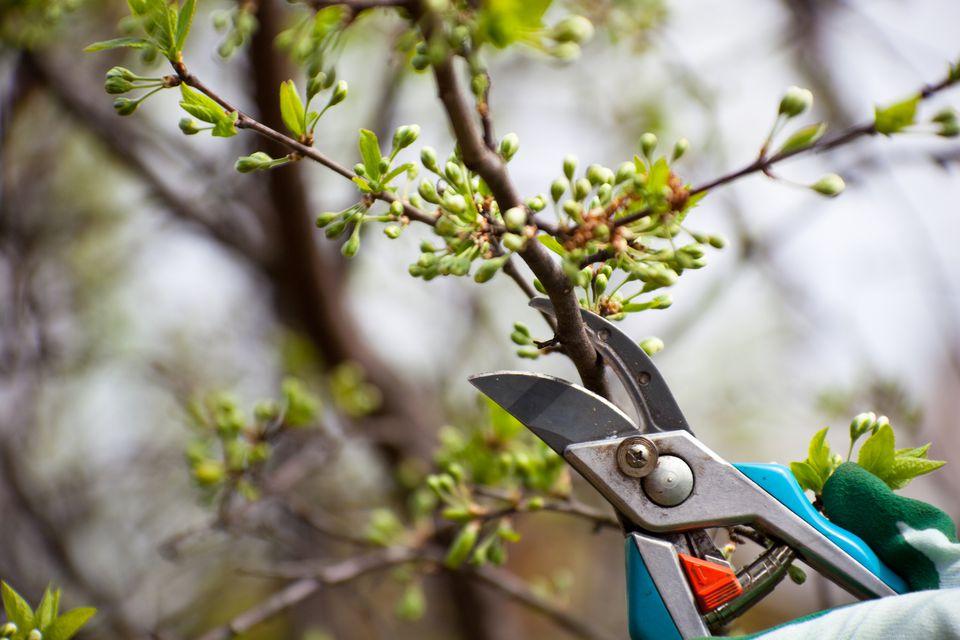 pruning flowering tree