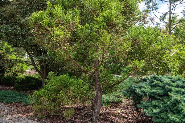 Japanese cedar tree with peeling bark and thick needle-like foliage