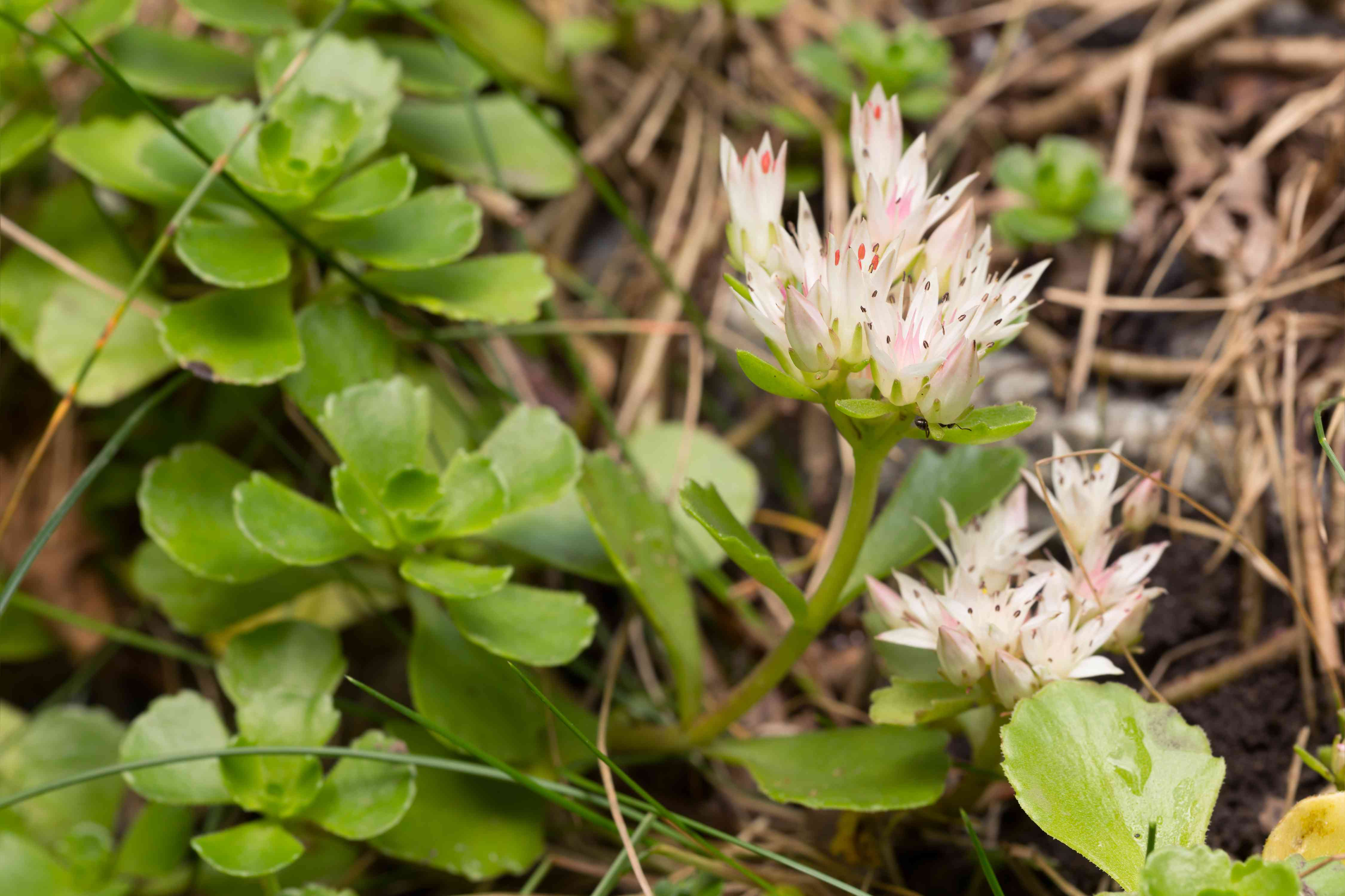 Blooming Caucasian Stonecrop (Sedum spurium) of the Crassulaceae family.