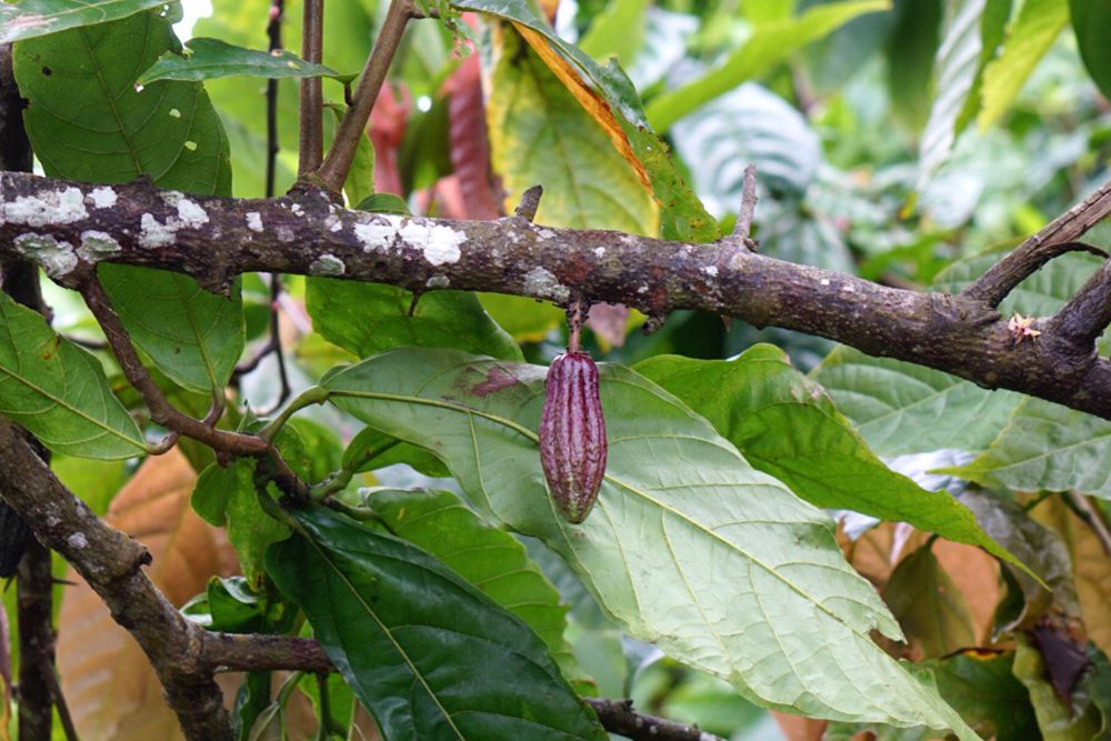 Cacao tree branch with cacao bean hanging in the middle against large leaves