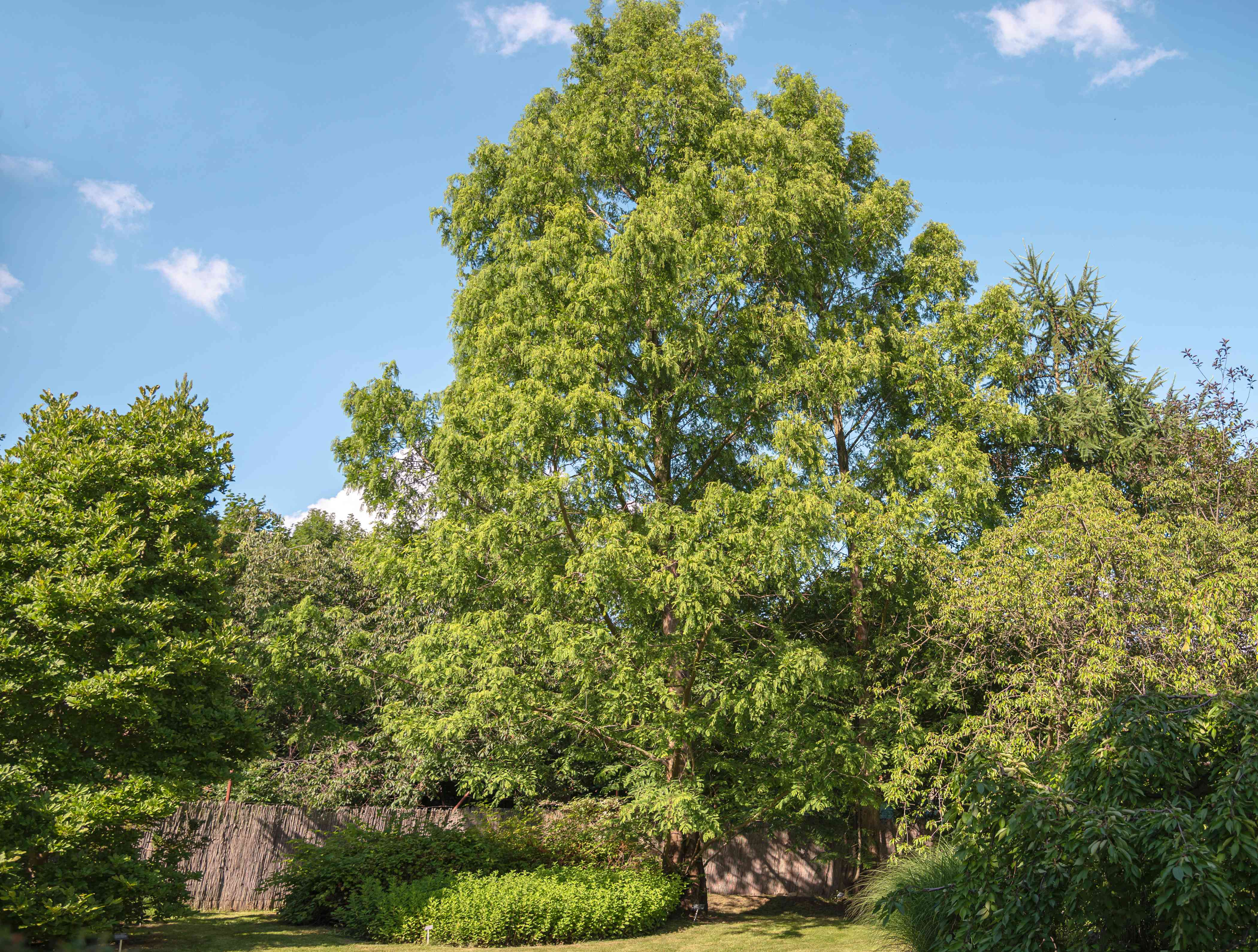 Dawn redwood tree with bright green feathery needles on branches in backyard