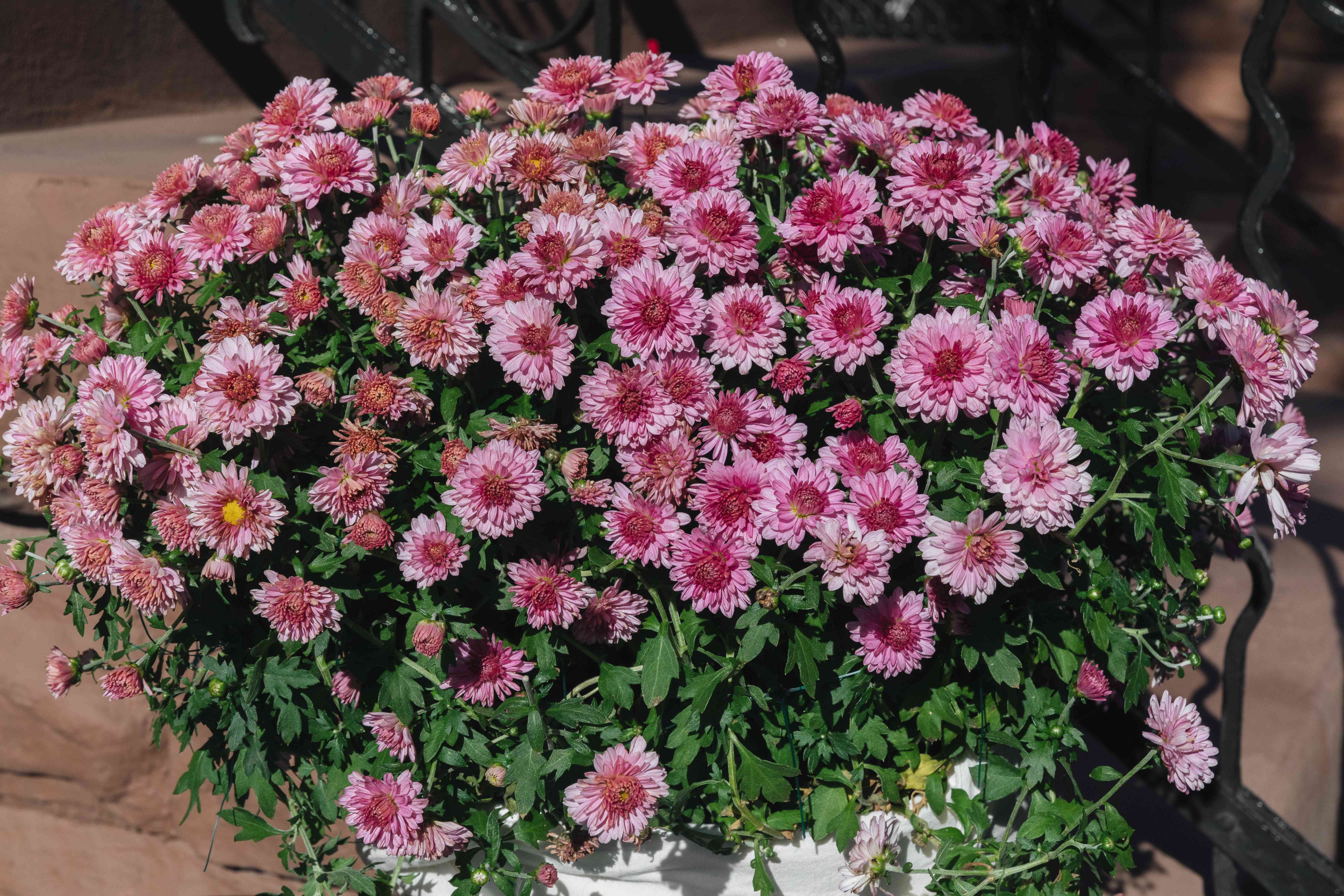 mums growing in a container