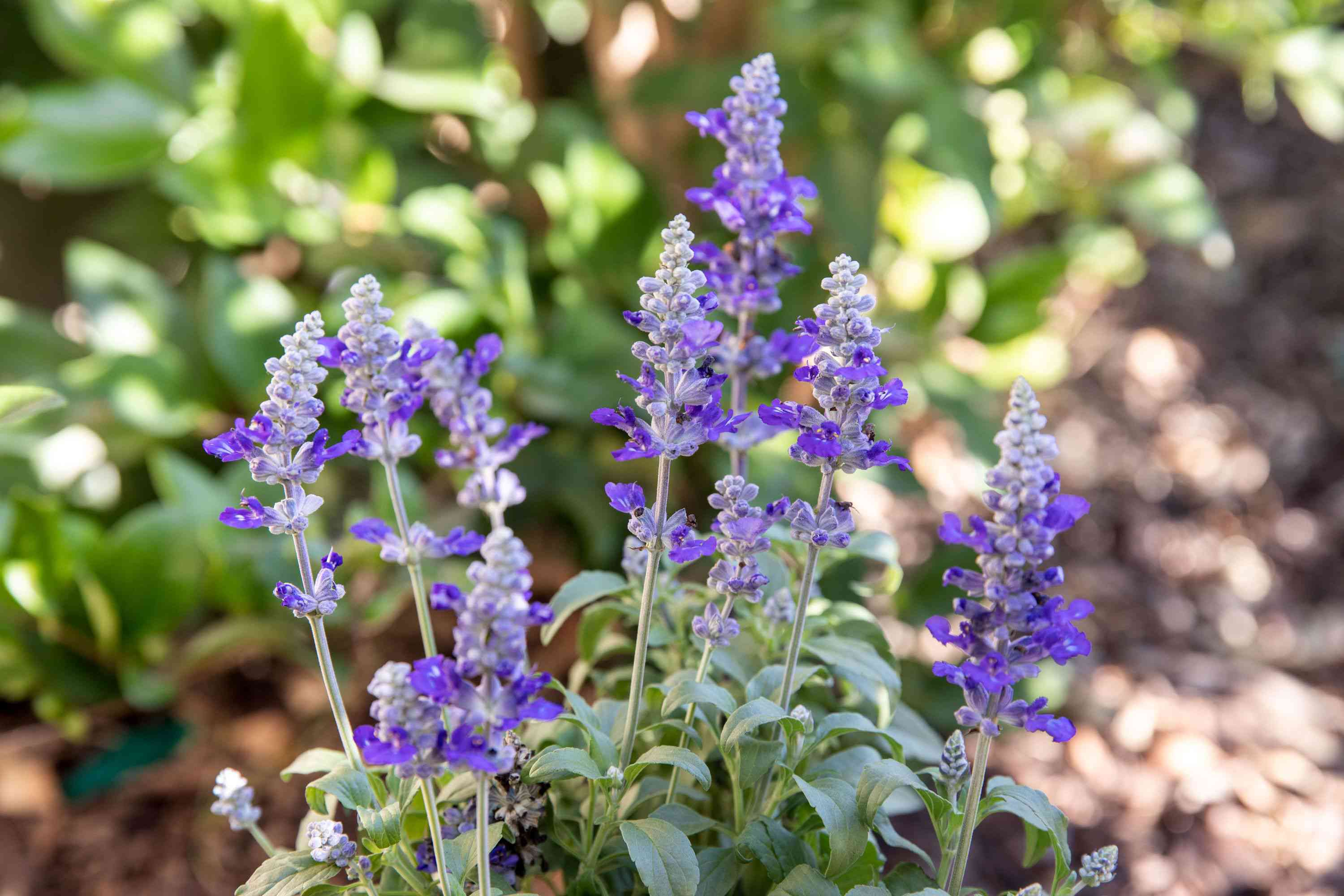 Salvia plant with small purple flowers on spikes closeup