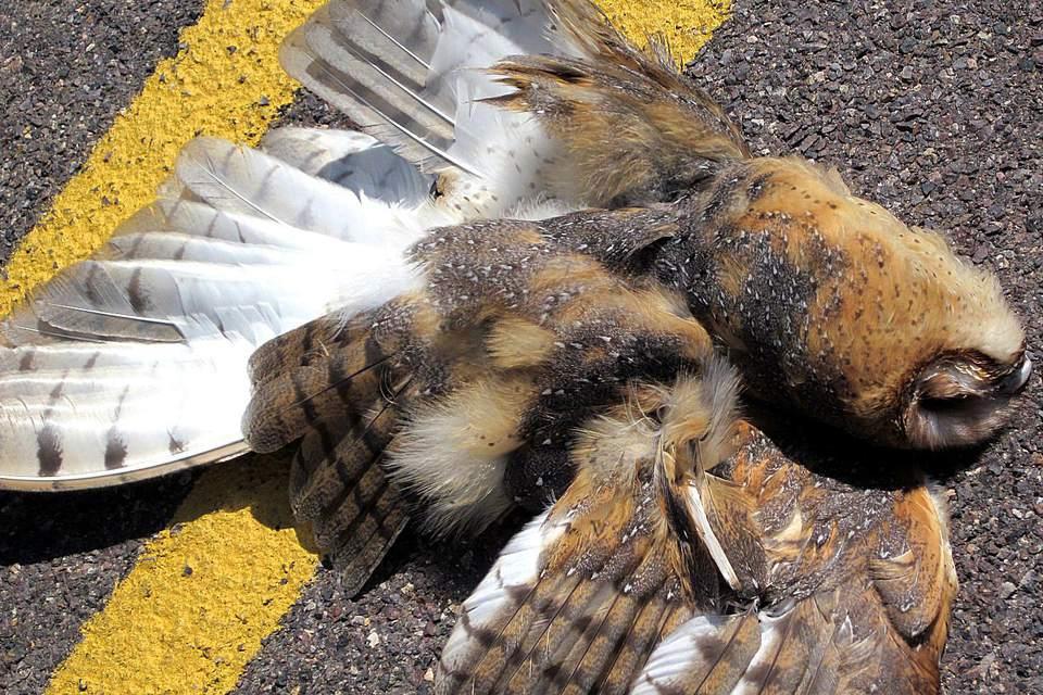 road-owl.jpg
