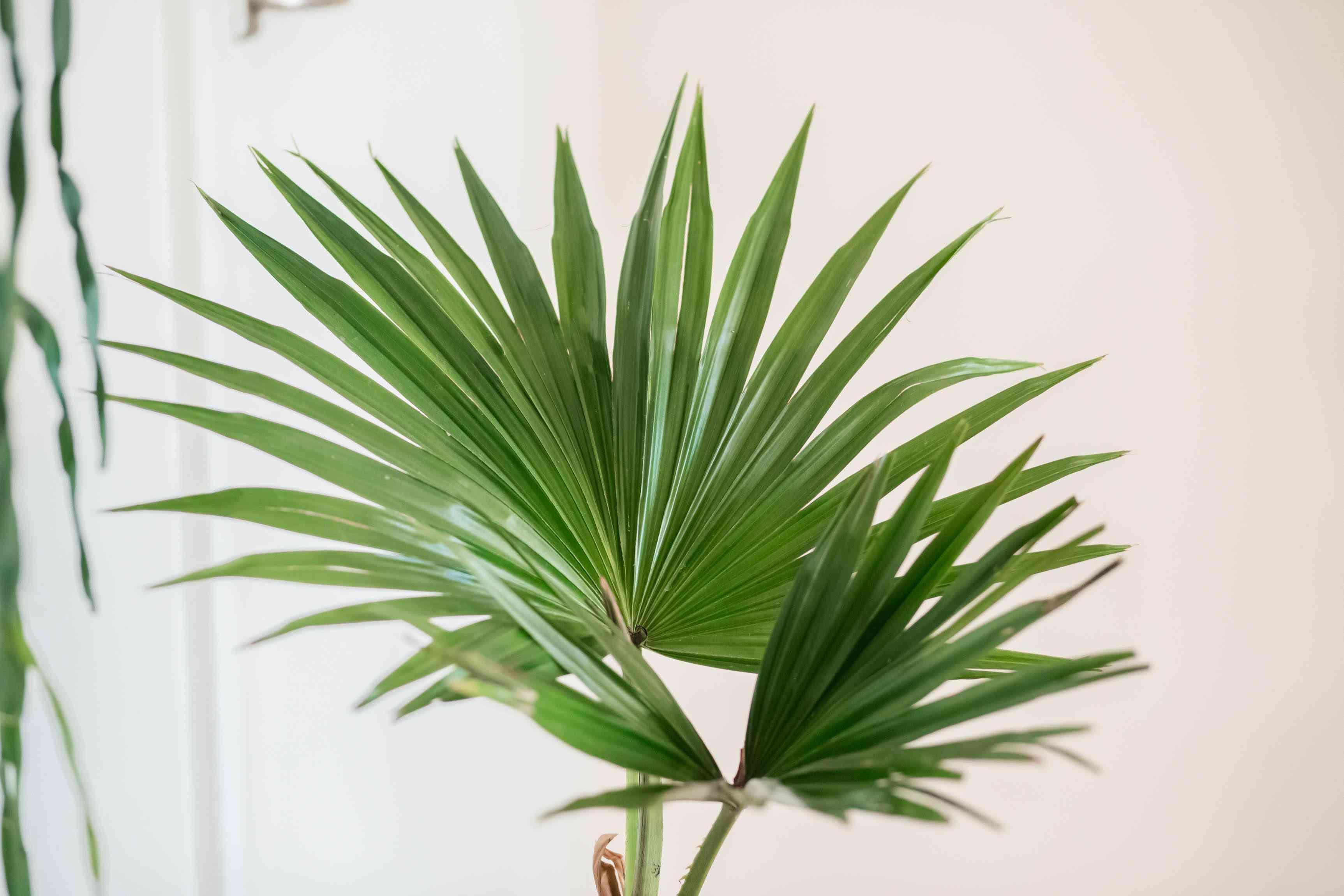 Chinese fan palm detail