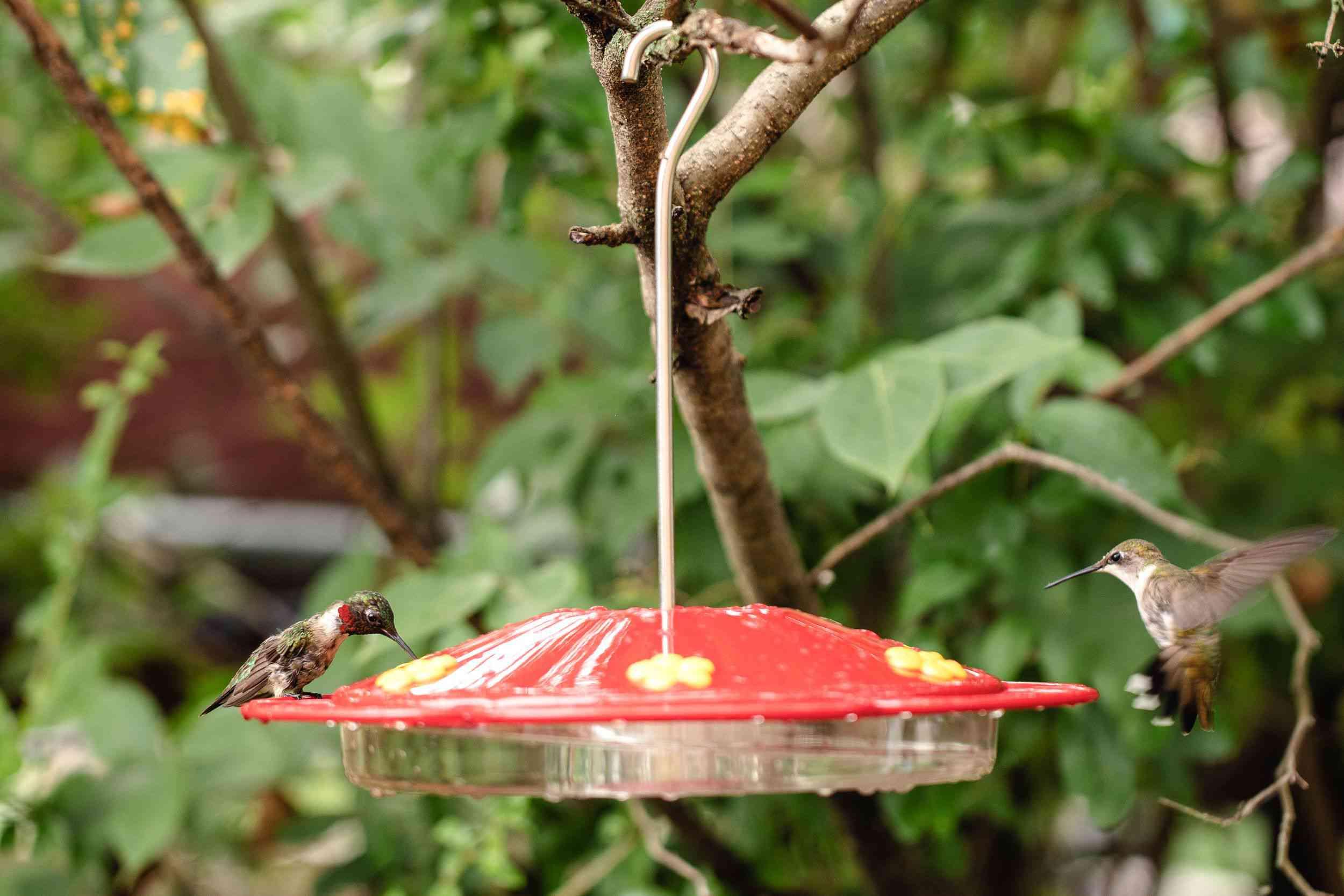 multiple hummingbirds at a feeder