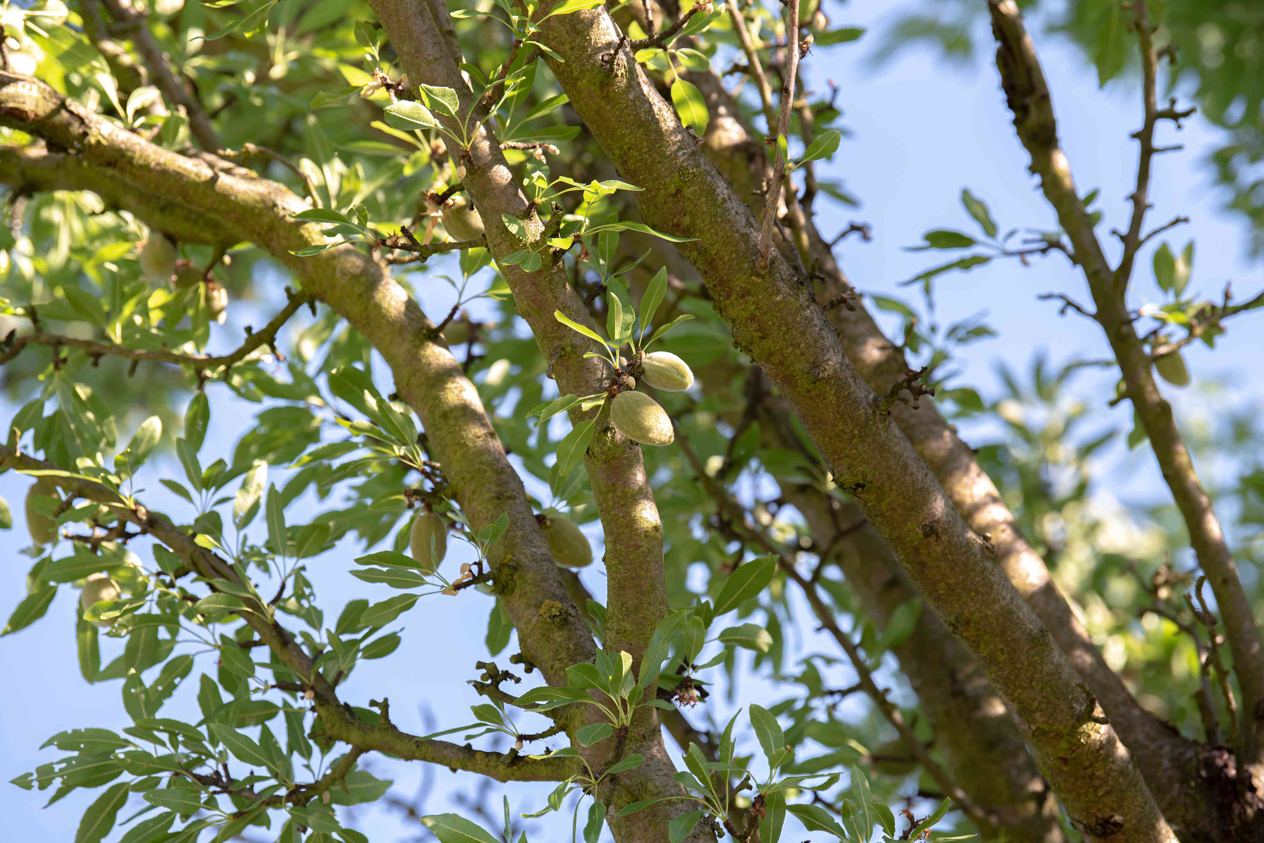 Almond tree trunks and branches with light green leaves and stone fruit hanging