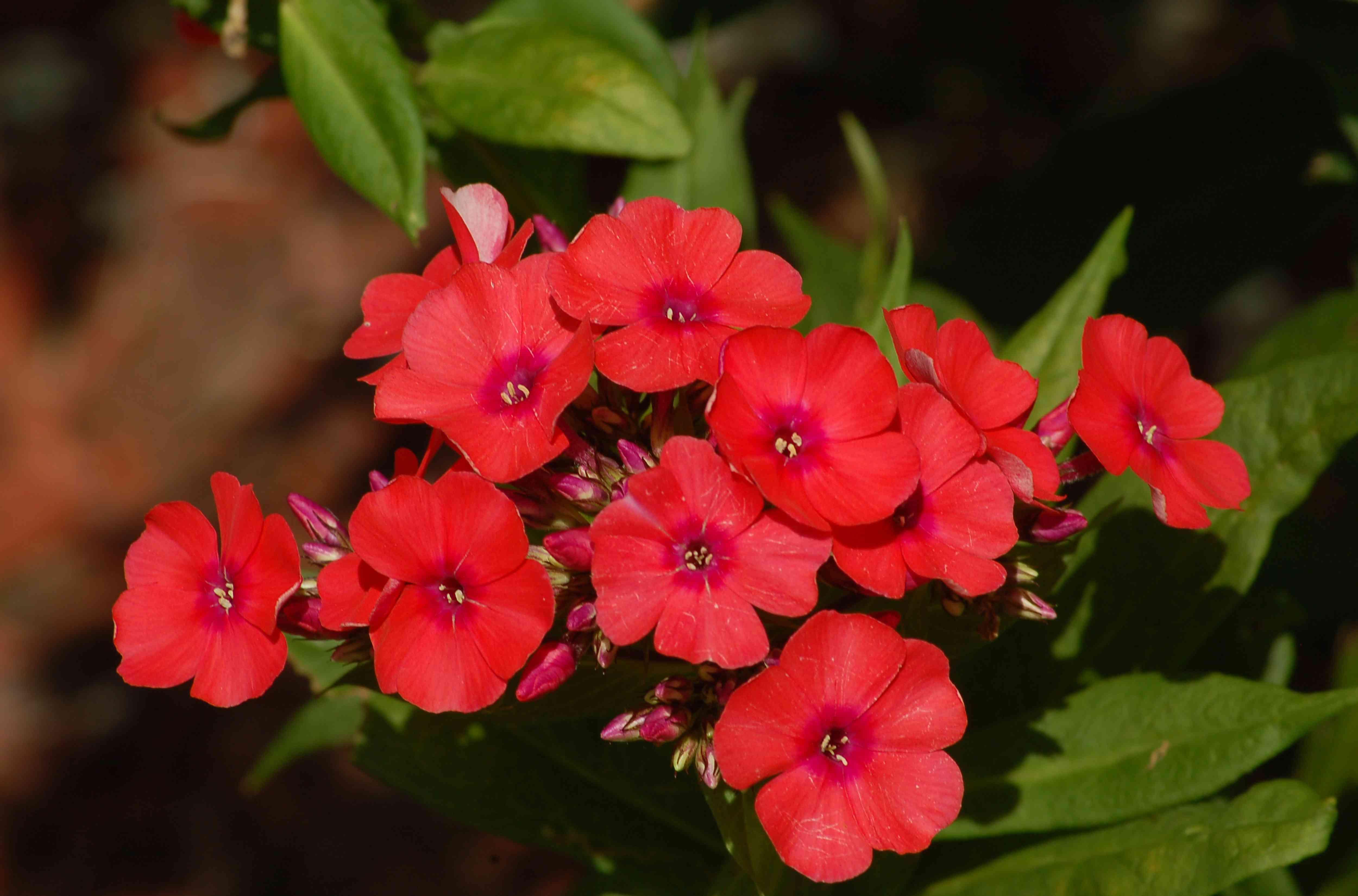 Closeup of group of Orange Perfection phlox flowers.