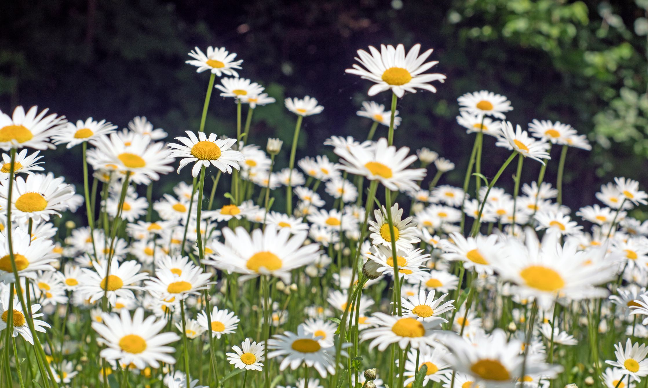 Selecting The Right Daisies For Your Flower Garden