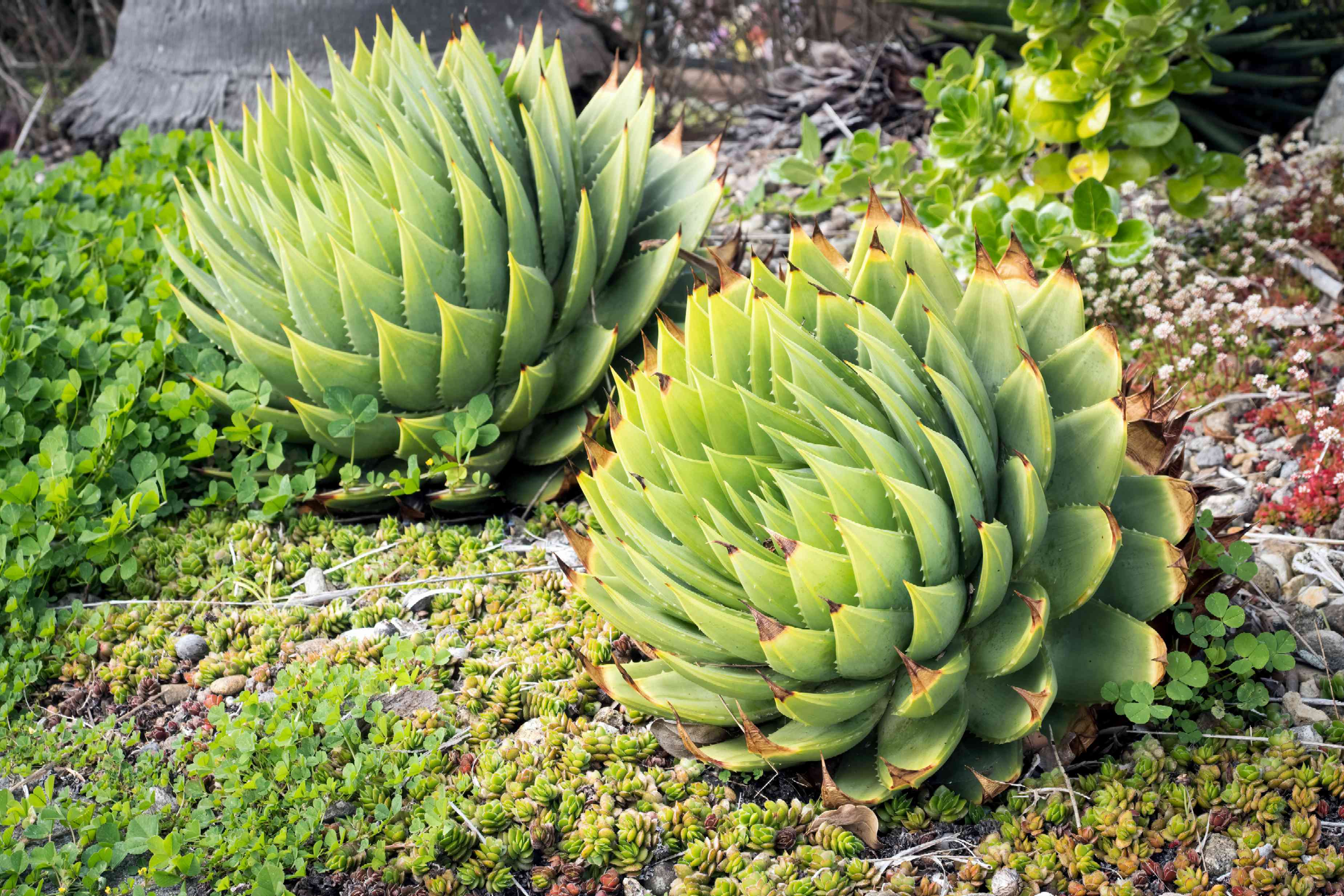 Two spiral aloe vera succulents with thick brown pointed leaves surrounded by groundcover plants