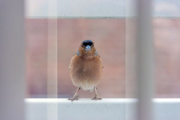 Chaffinch on a window sill