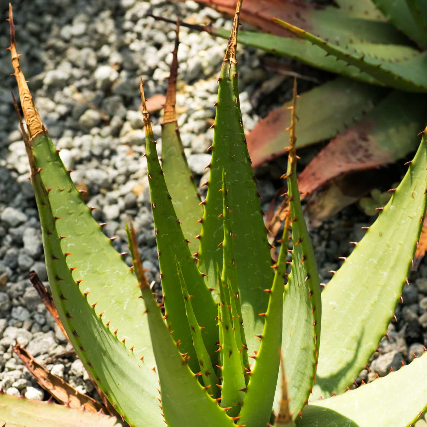 Aloe de serpiente; Aloe Broomii