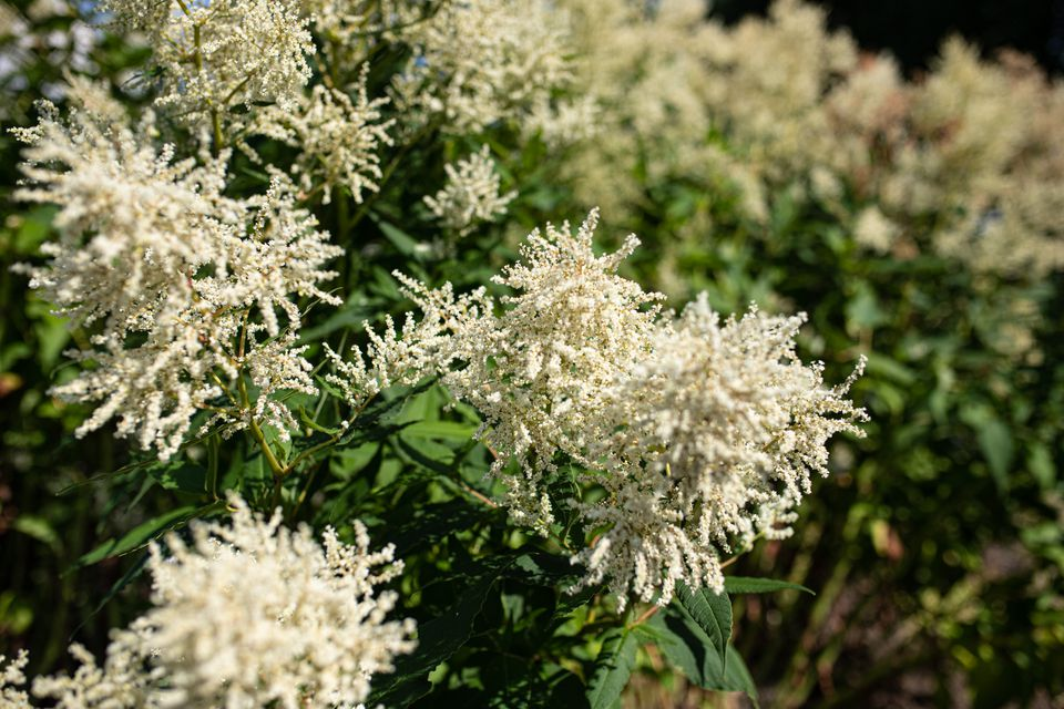 Goat's beard shrub