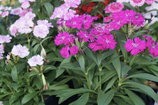 Sweet Williams plant with bright and light pink frilly flowers