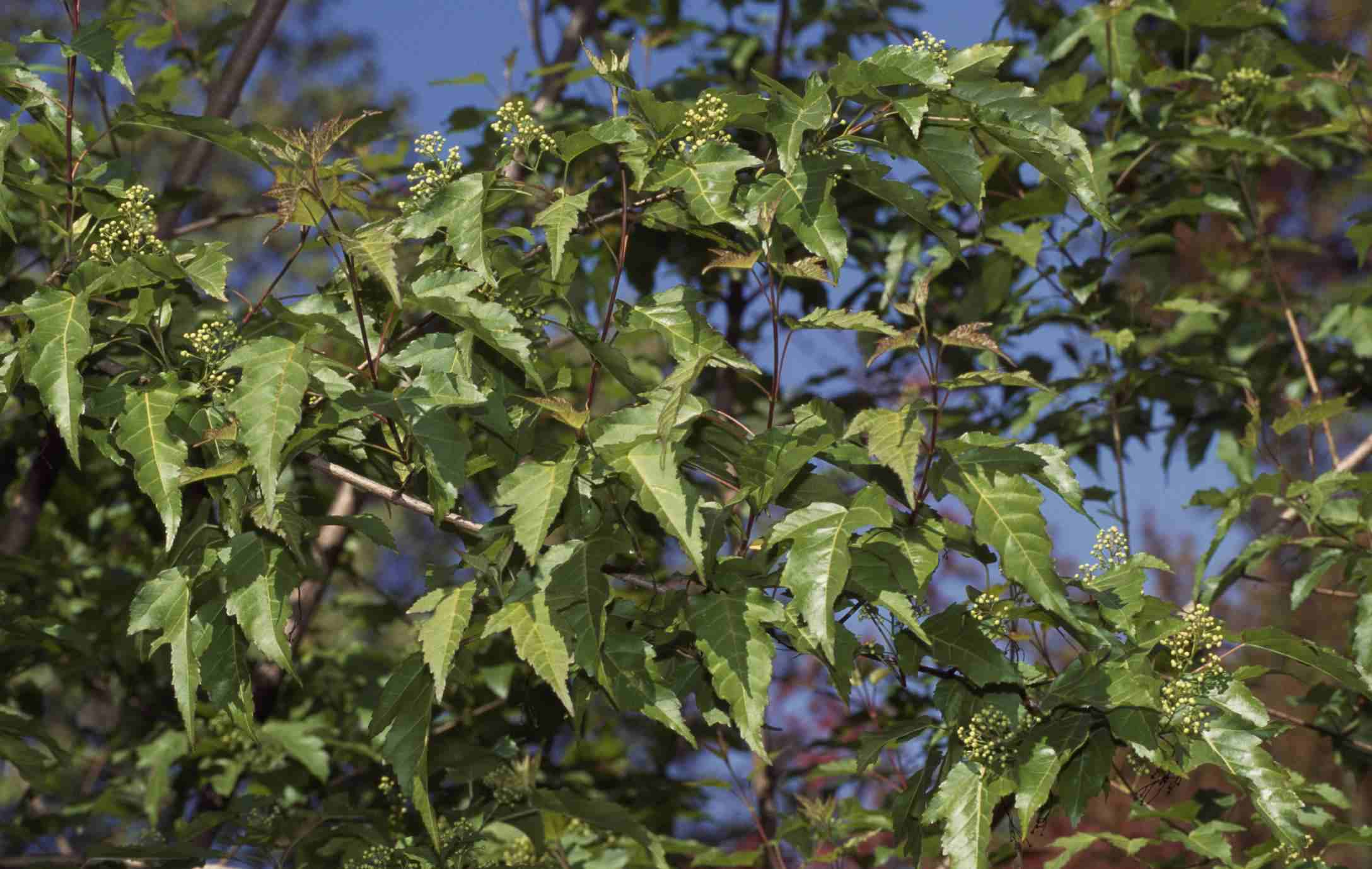 Amur Maple leaves (Acer ginnala), Aceraceae-Sapindaceae