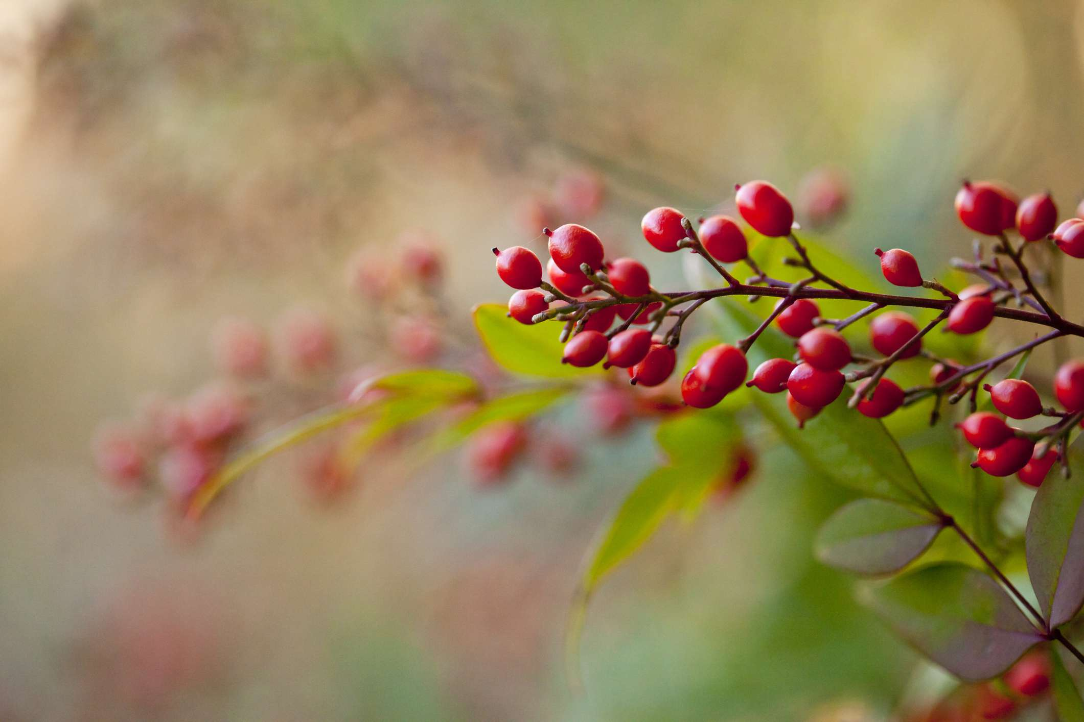Berries of a heavenly bamboo (nandina domestica) close up.