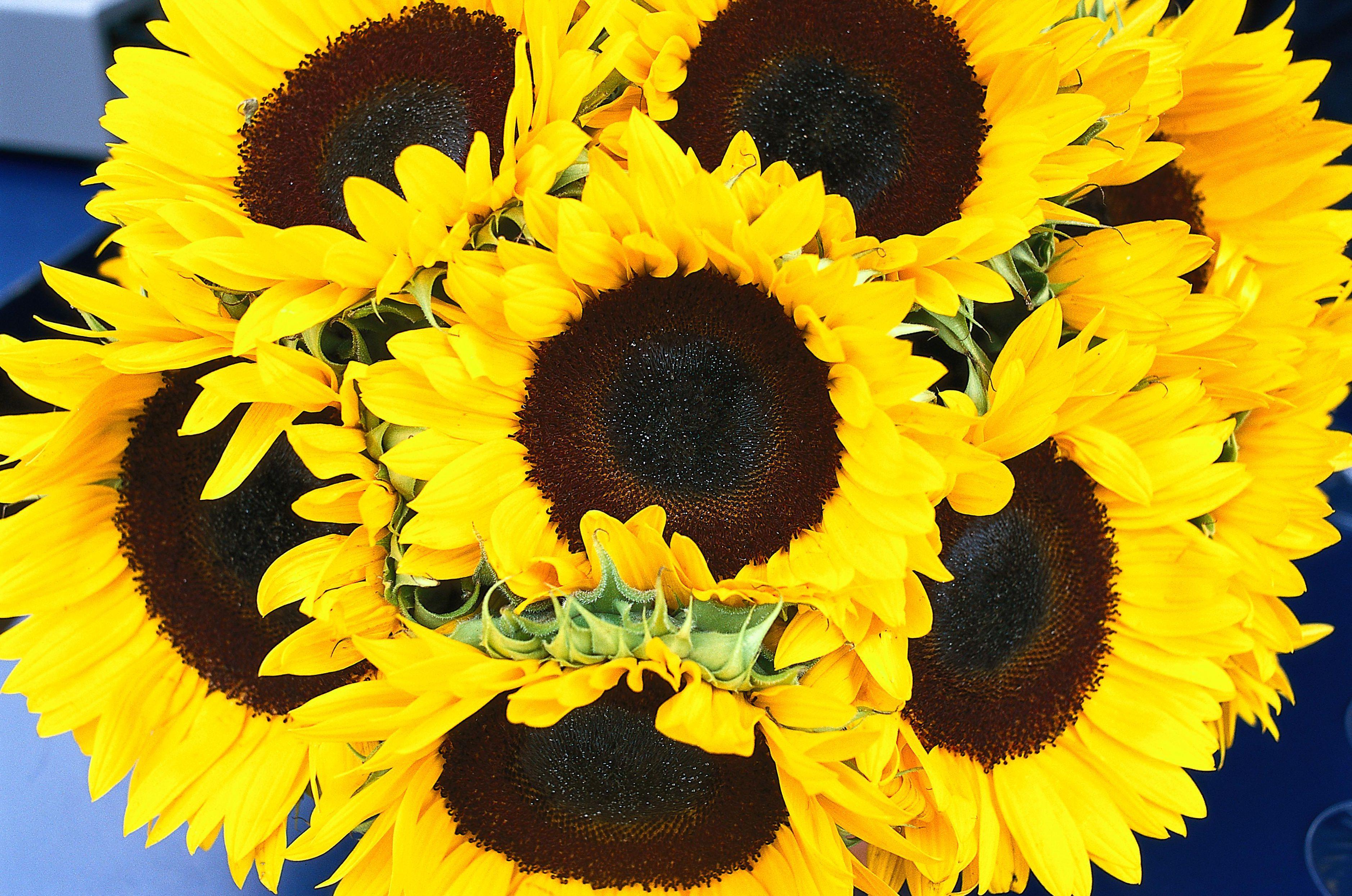 Sunbright Sunflowers