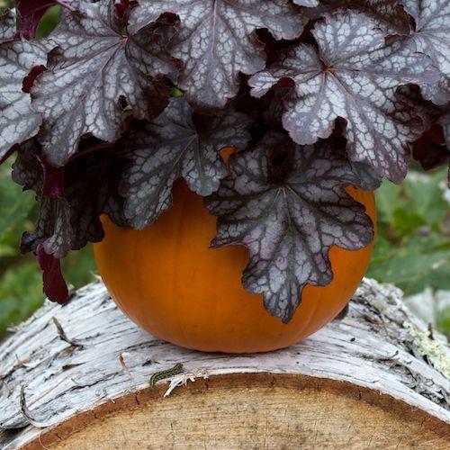 Heuchera in Pumpkin Planter