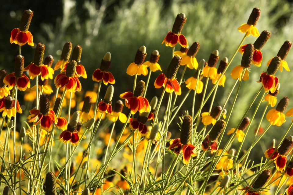 clump of flowering Ratibida columnifera (mexican hat)