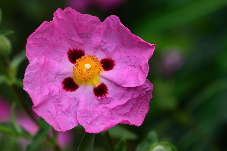 Cistus albidus pink flower with a crimson spot at the base of each leaf.