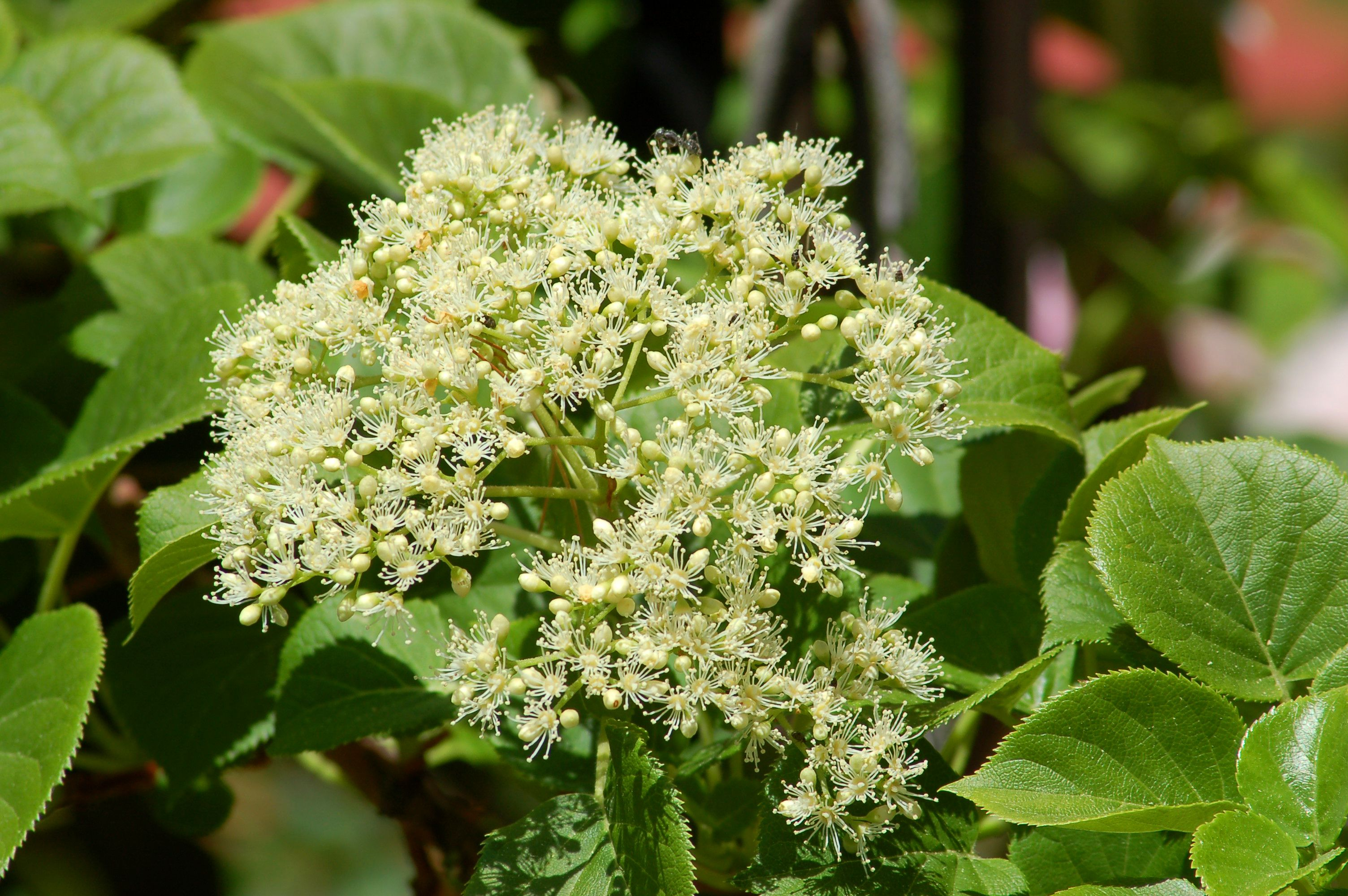 climbing-hydrangea-flowerhead-big-56a585b15f9b58b7d0dd42a0 House Grown From Plants on cut house, led house, flooded house, shot house, ground house, felt house, frozen house, roc house, a class house, read house,