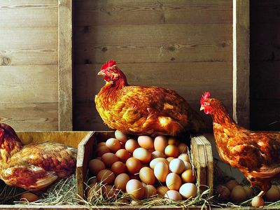 Tips for Planning Your Own Chicken Coop