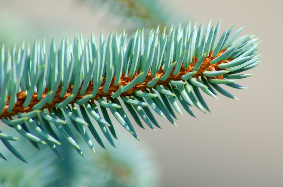 Blue spruce needles (image) truly are bluish. This tree is popular for Christmas.