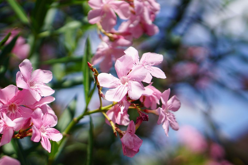 Oleander shrub with light pink flowers growing on extended stem in sunlight