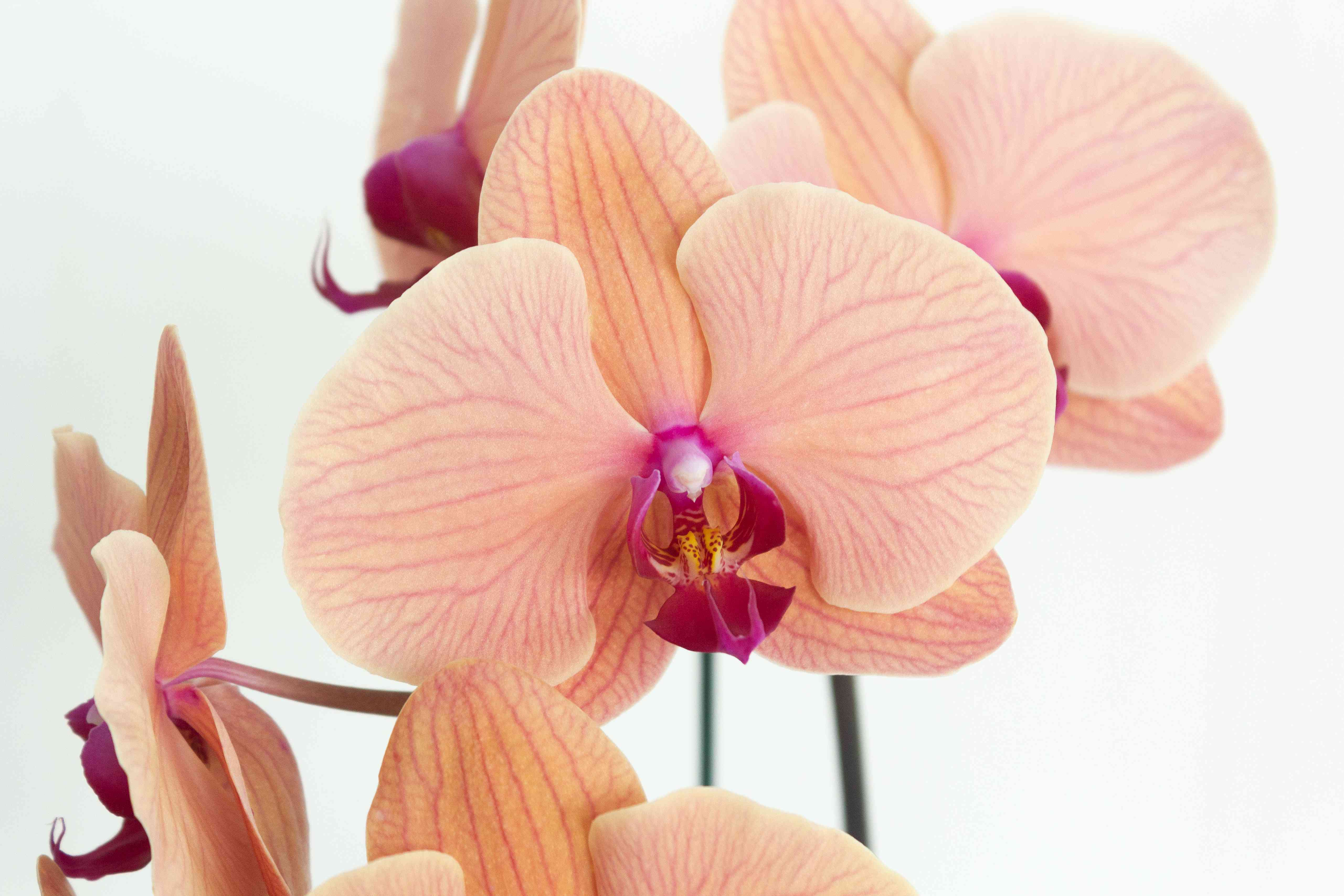 closeup of orchid blooms