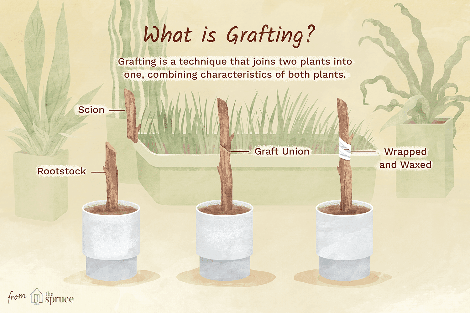 illustration about grafting plants