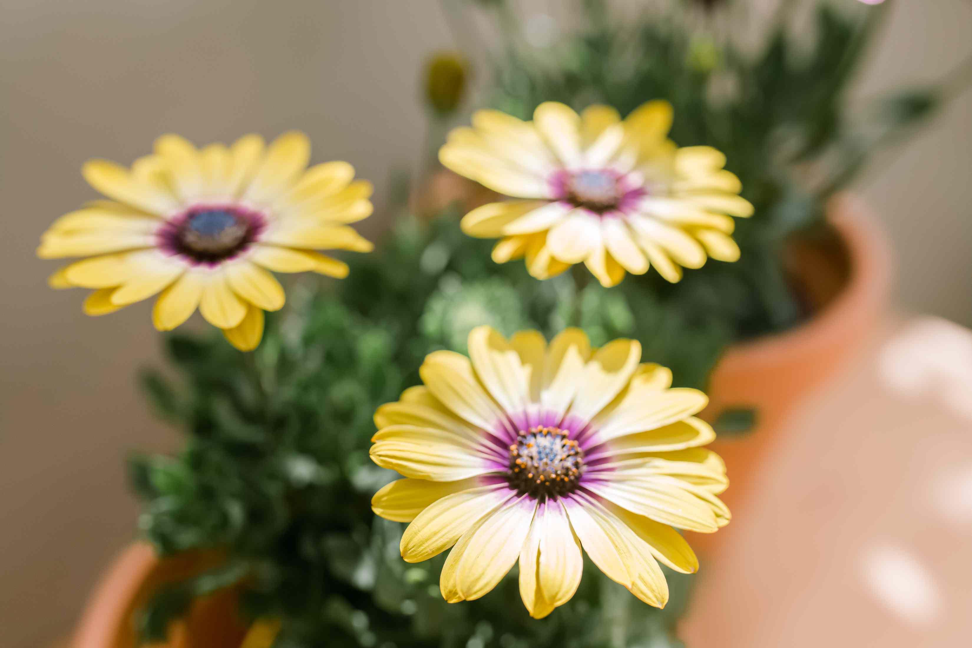Lemon symphony African daisies