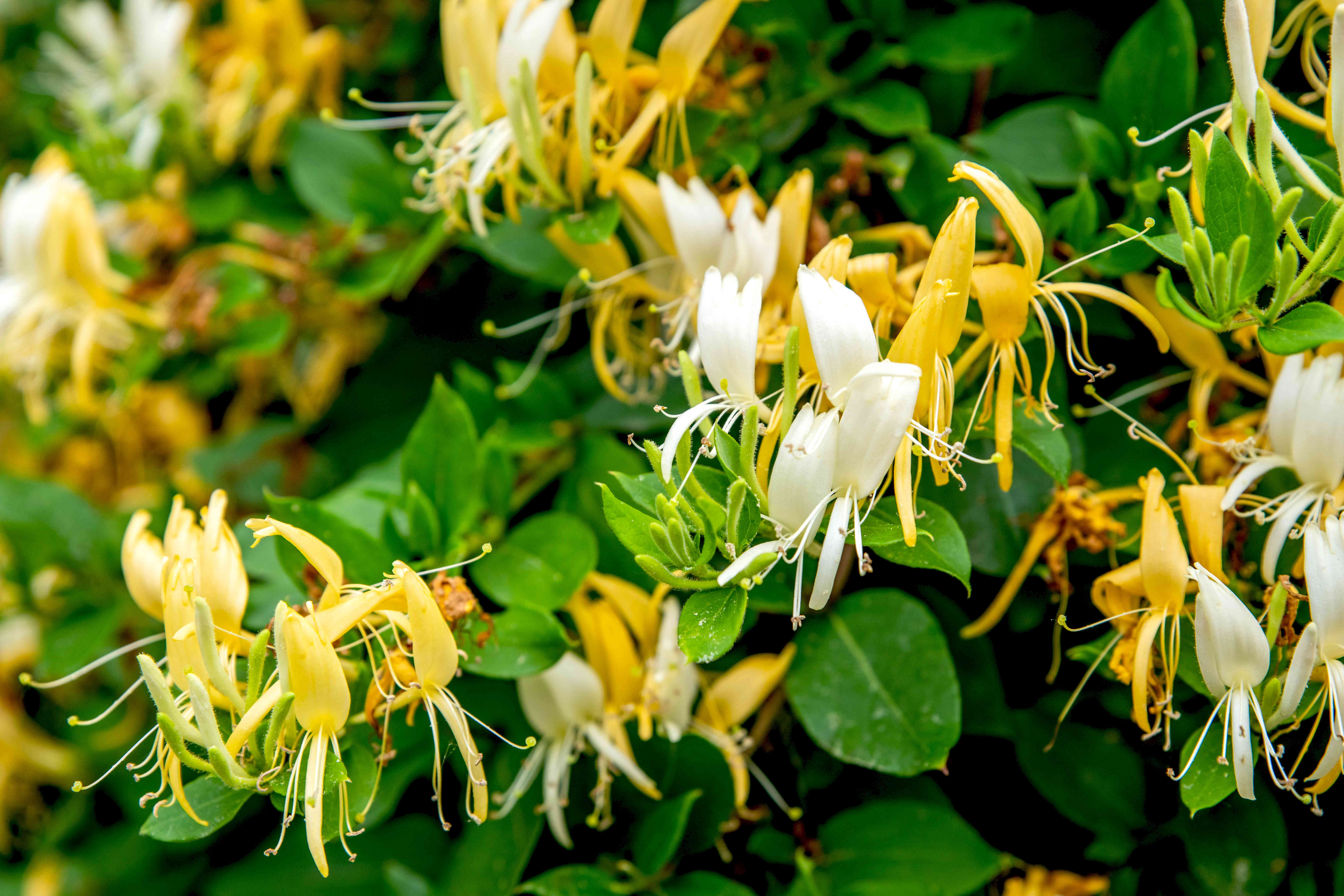 Japanese honeysuckle plant with yellow and white bi-petaled flowers between leaves