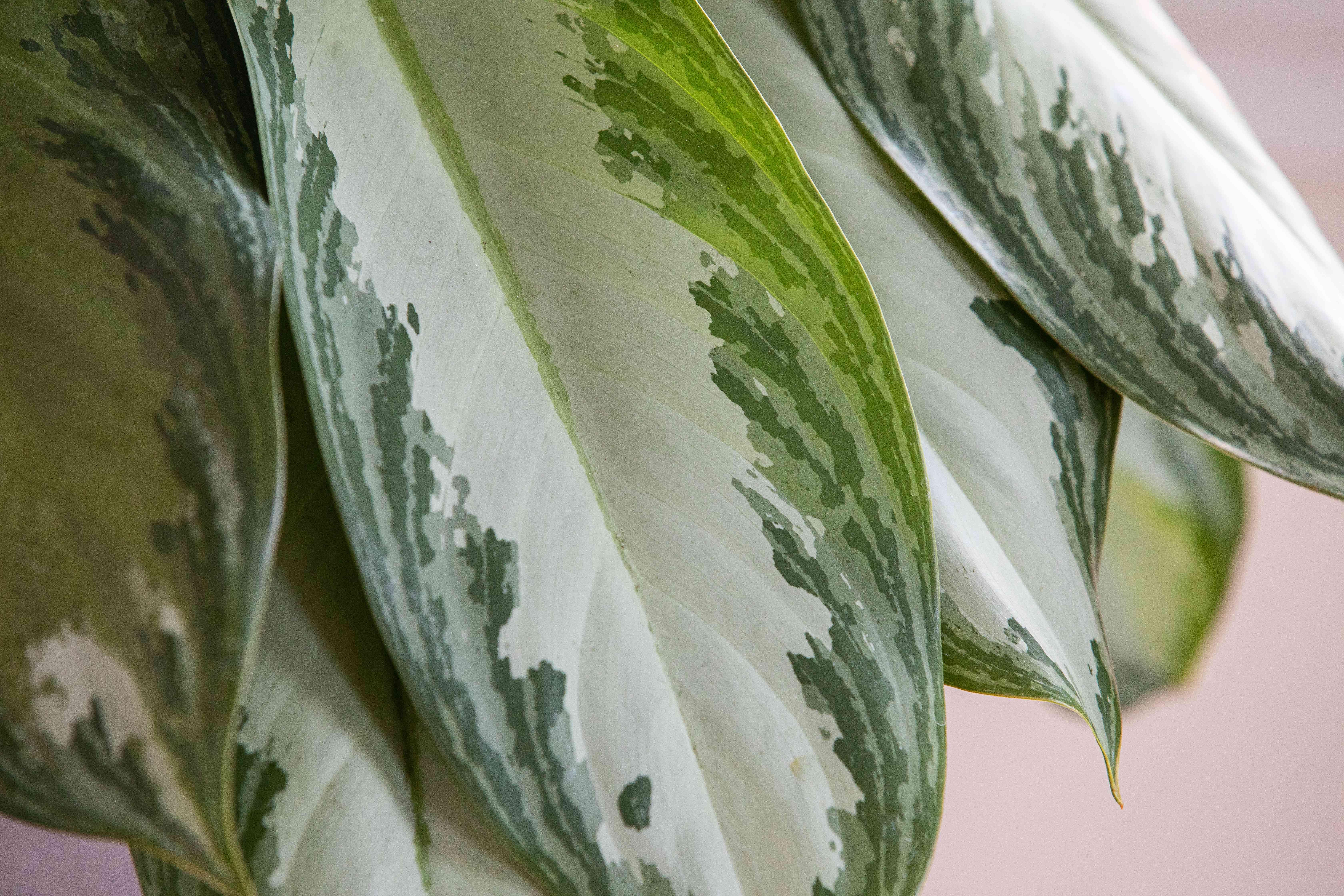 a closeup of aglaonema leaves