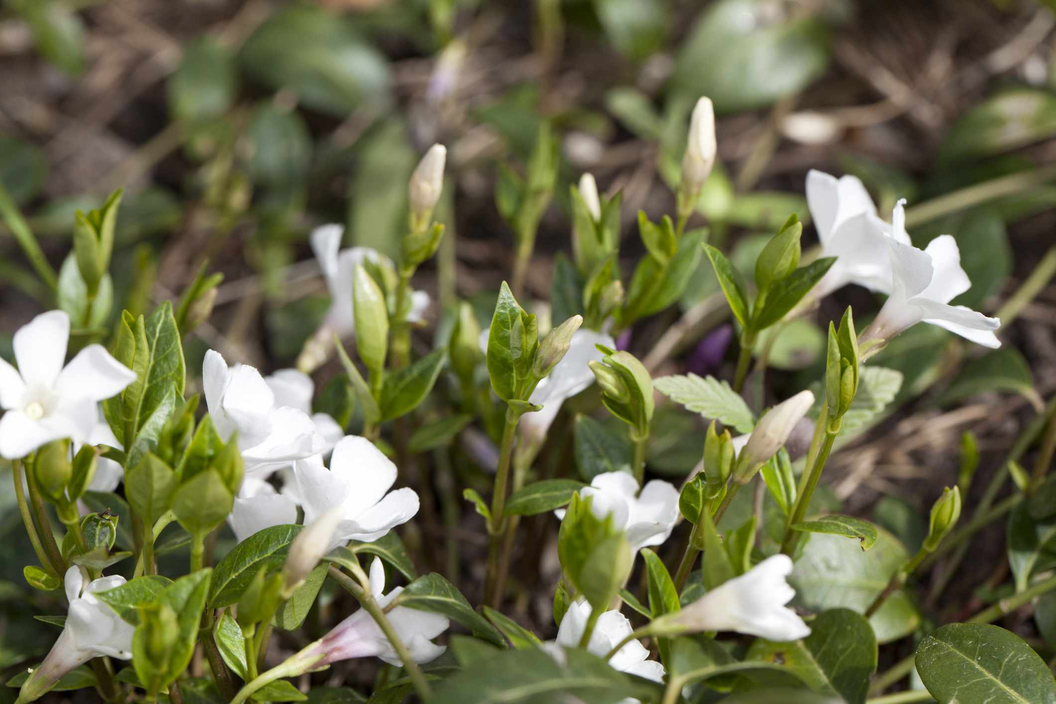 Vinca minor blooming in white.