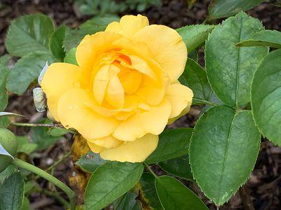 yellow flower on a shrub