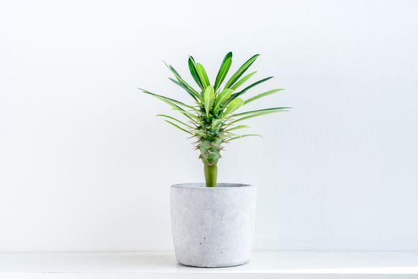 Madagascar cactus palm tree (Pachypodium lamerei) in a pot