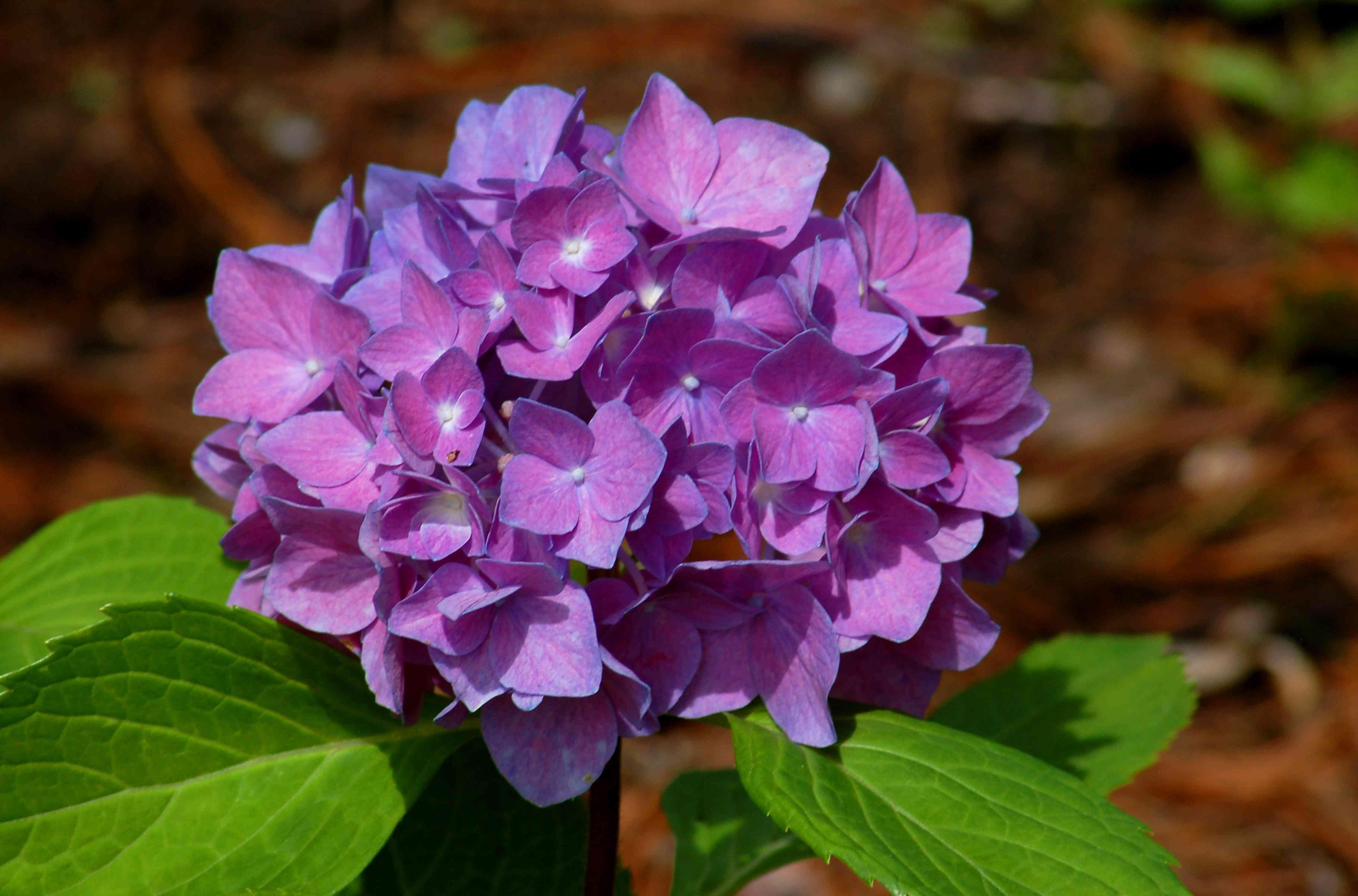 'Rhapsody Blue' hydrangea with purple flowers