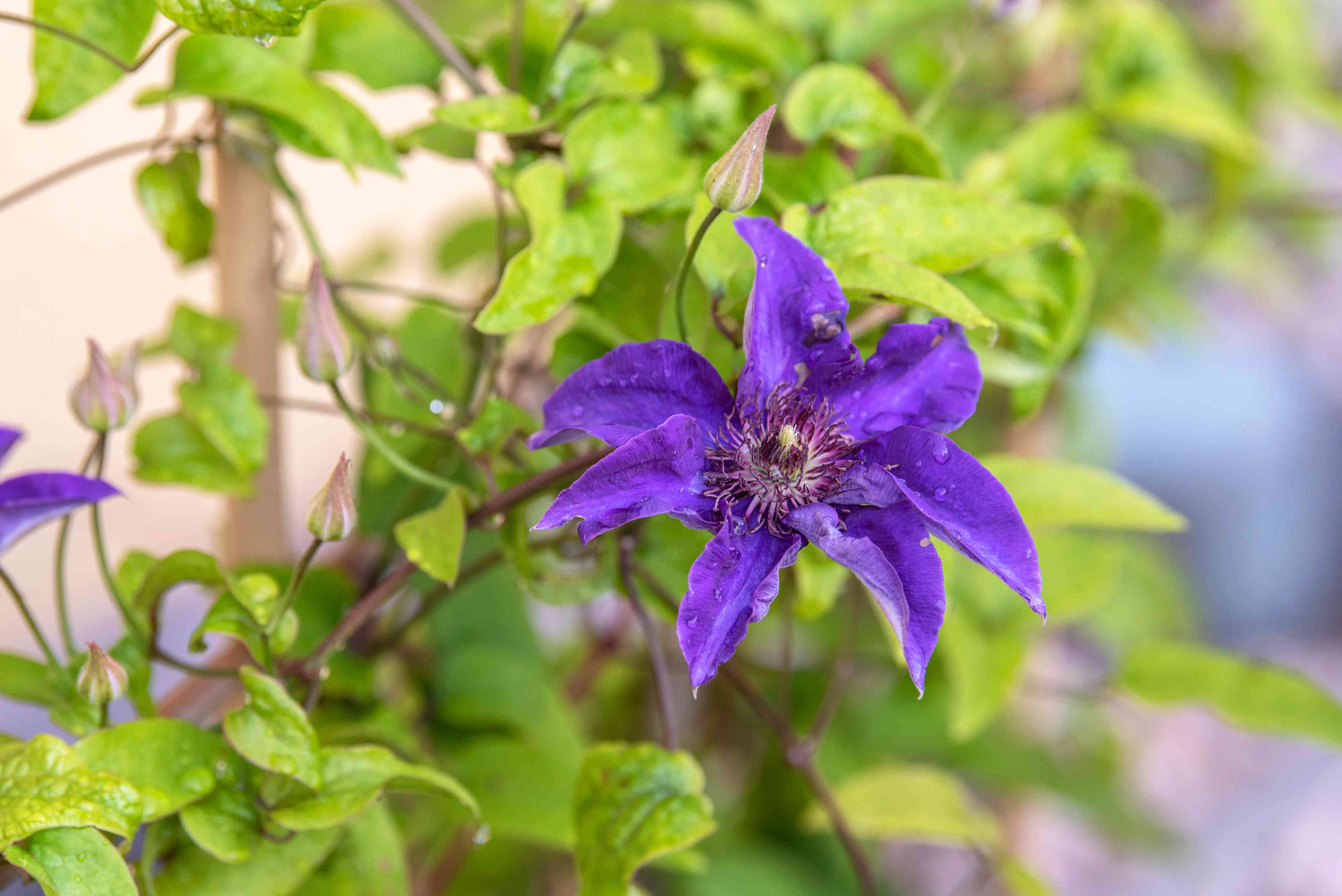 Clematis 'The President' plant with violet-blue flower with reddish anthers in center growing on vine