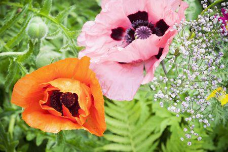 14 beautiful garden poppies you can grow poppies mightylinksfo