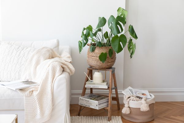 Monstera deliciosa plant potted on stand next to living room couch