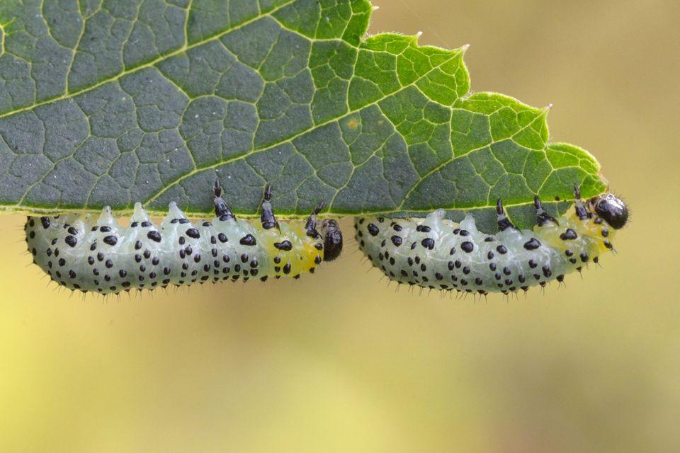 Gooseberry sawfly larvae feeding on red currant leaf