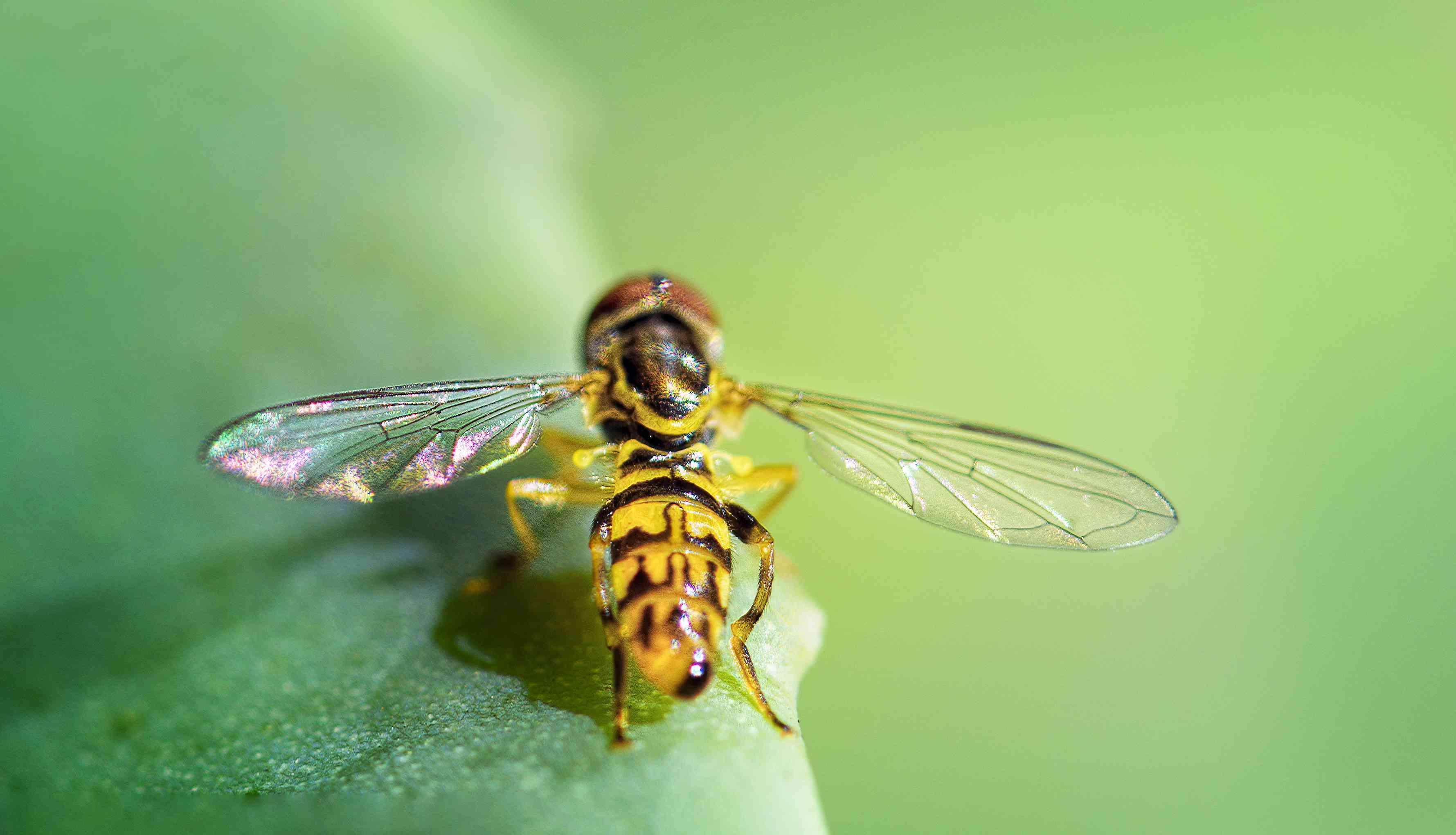 The hoverfly has one pair of wings only, unlike bees and wasps