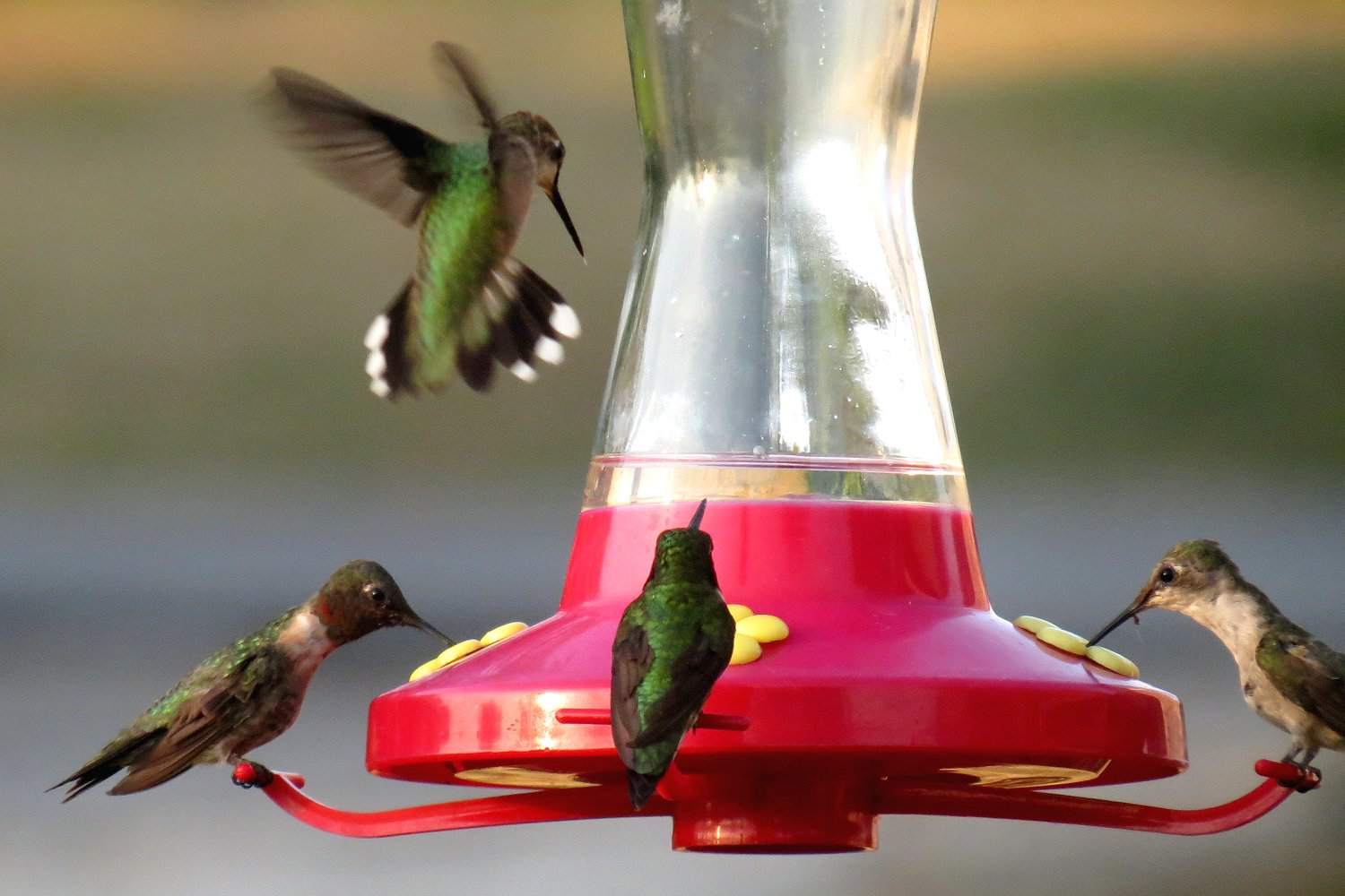 Four hummingbirds gathered at a feeder