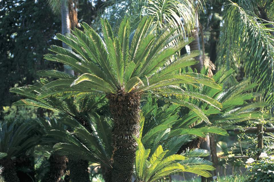 Sago palm with green fronds