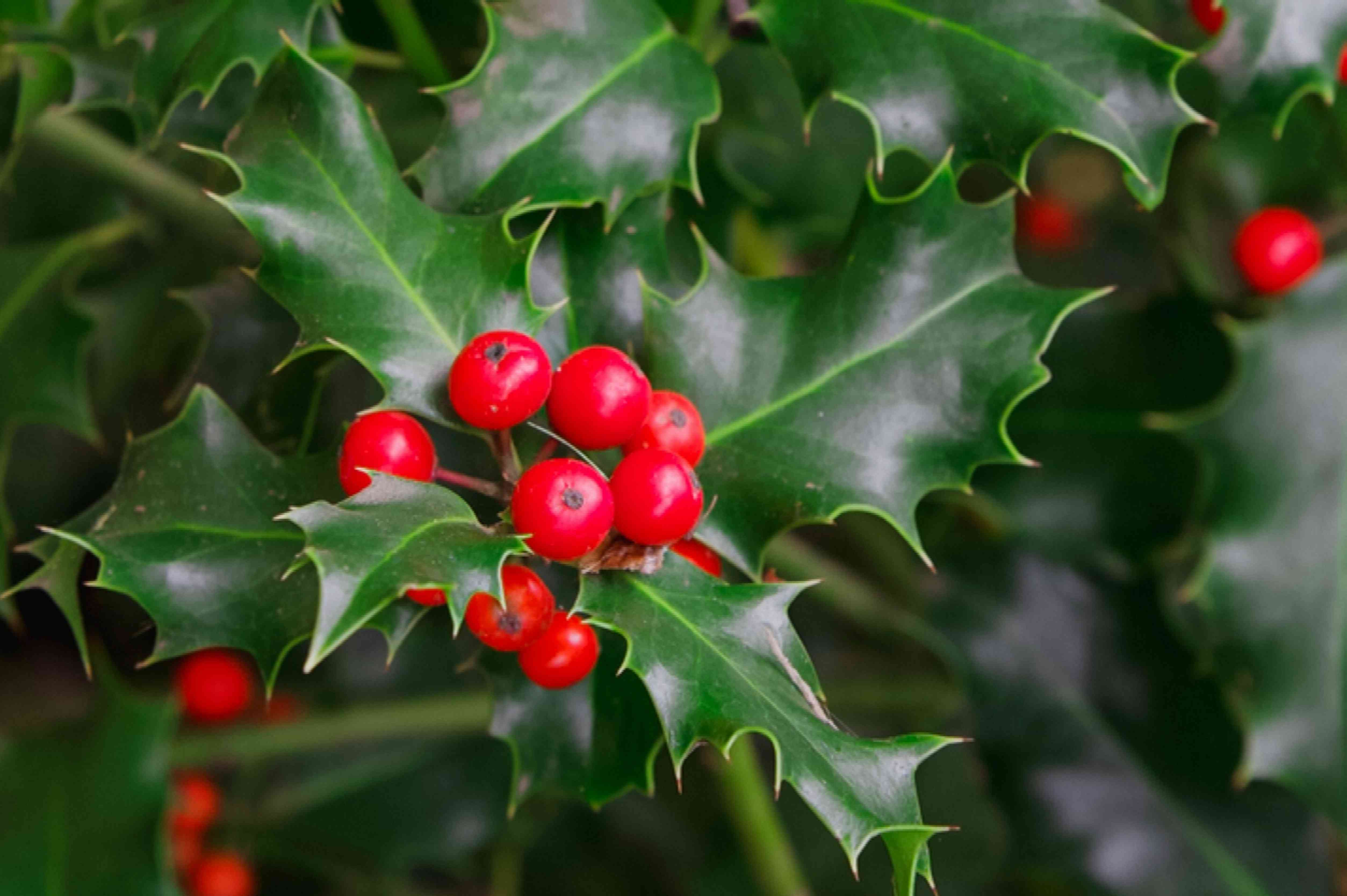 Holly plant with poisonous bright red berries and leaves closeup