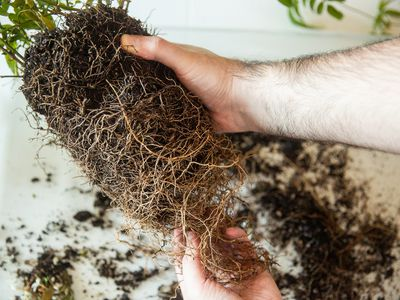 Container plant's roots being loosened over counter